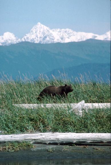 Distant_bear_5