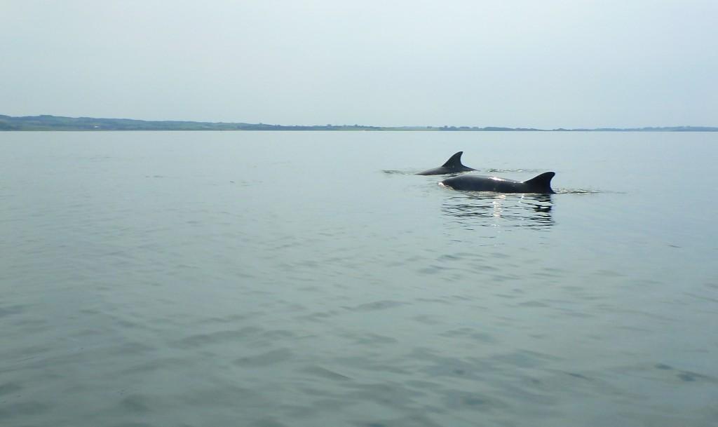 Delfiner 13