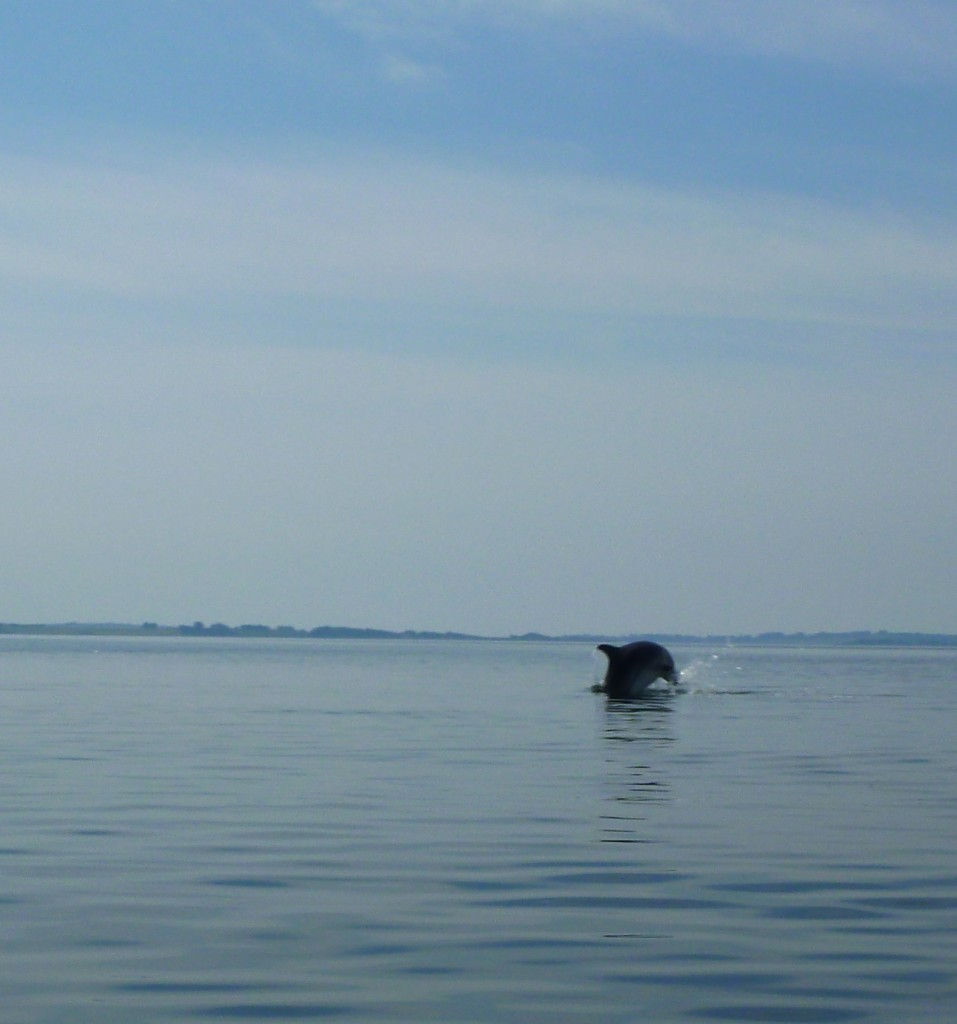 Delfiner 19